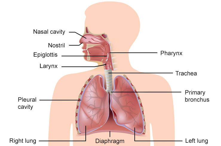 Respiratory System in Humans