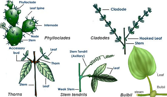Types and Modifications of Stem
